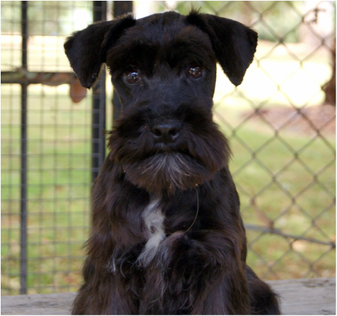 Miniature schnauzer pups for sale nsw