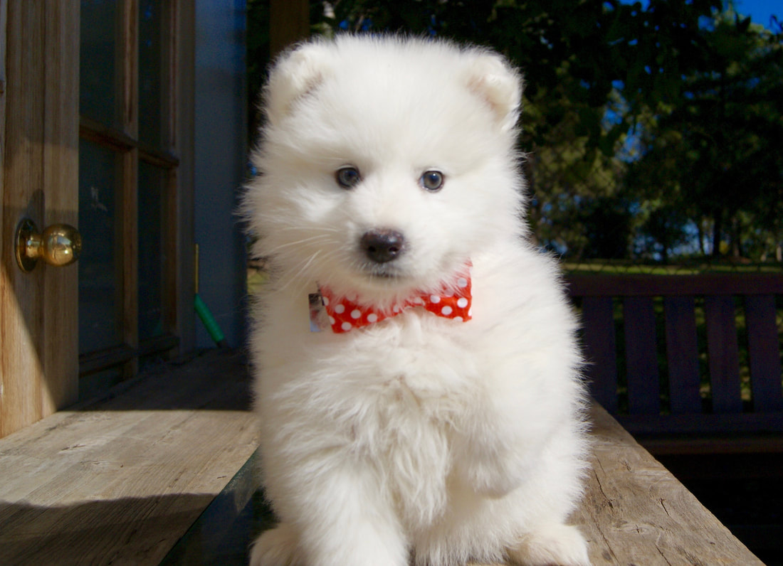 Samoyed Cottage Canines Australia