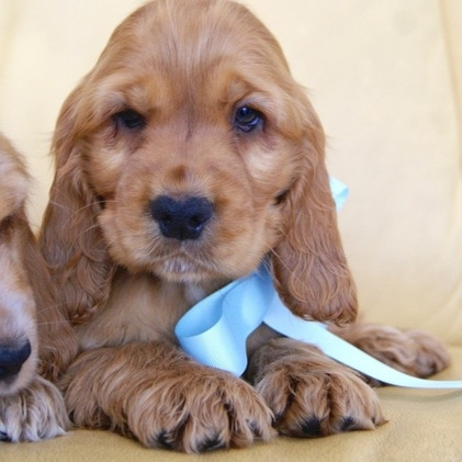 Puppies For Sale - Cottage Canines Australia