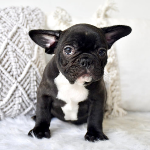 French Bulldog Cottage Canines Australia