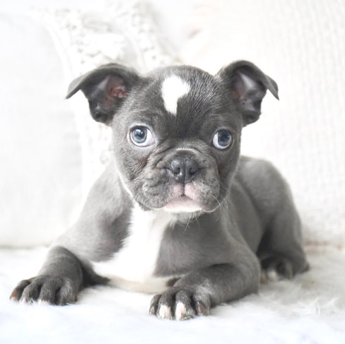 Boston Terrier x French Bulldog - Cottage Canines Australia